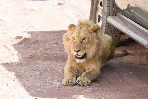 Lion près de voitures au cratère du ngorongoro
