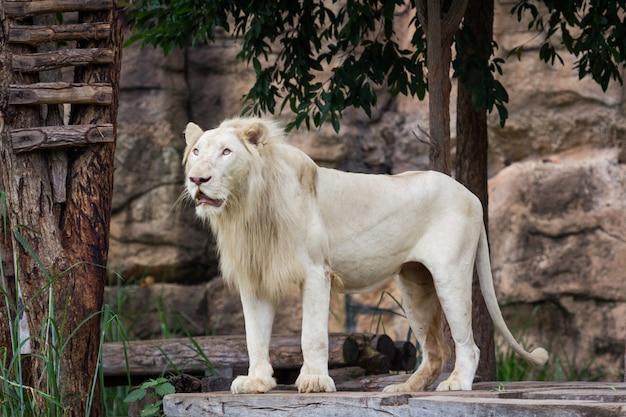 Lion regarde la nourriture