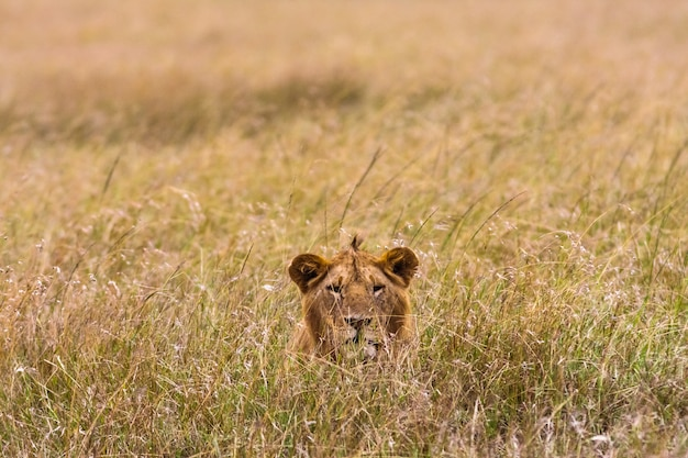 Le lion regarde sa proie. kenya, afrique