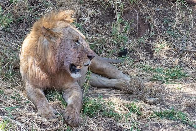 Lion reposant sur l'herbe et les buissons pendant la journée