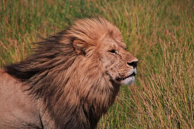 Lion en safari au kenya et en tanzanie, en afrique