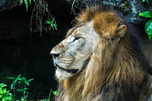 Lion se bouchent pour faire face