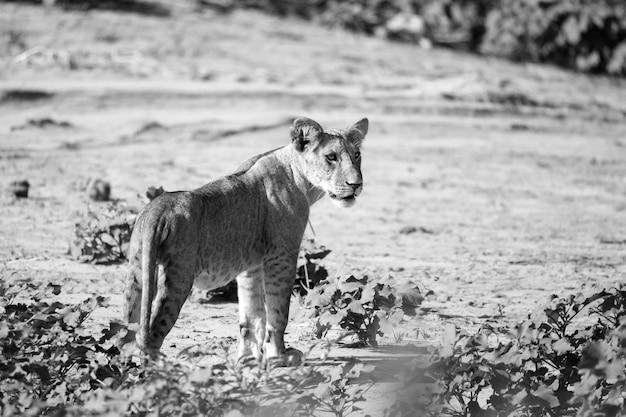 Lion se promène dans la savane au kenya