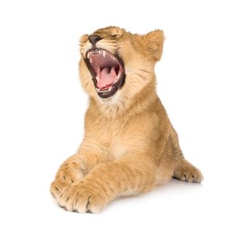 Lionceau (6 mois) isolé