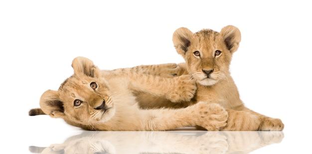 Lionceau sur un blanc isolé