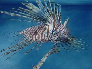 Lionfish, animaux