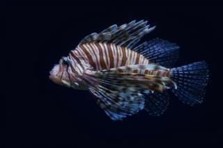 Lionfish réservoir