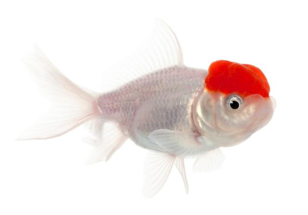 Lionhead poisson rouge carassius auratus en face de fond blanc
