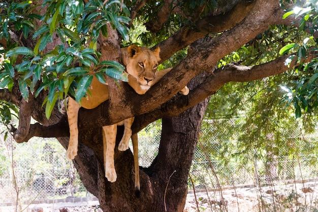 Lionne sur une branche