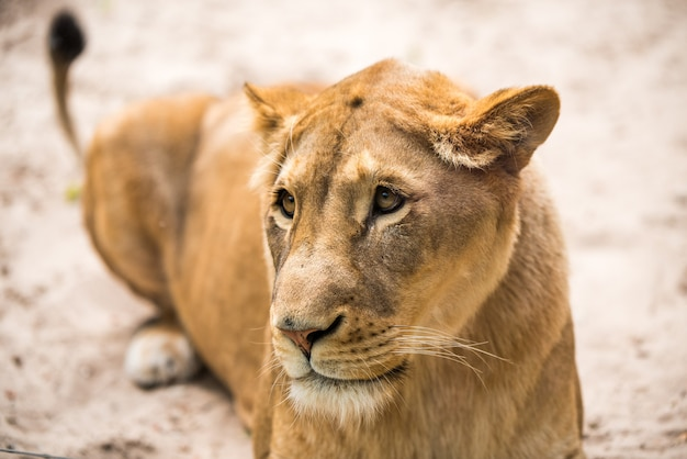 Lionne closeup portrait face d'un lion femelle panthera leo