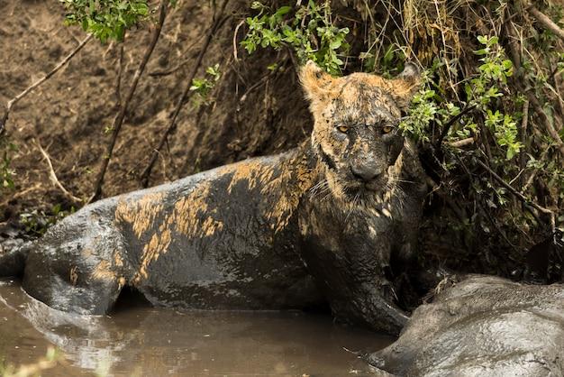 Lionne couchée à côté de sa proie dans une rivière boueuse, serengeti, tanzania, africa