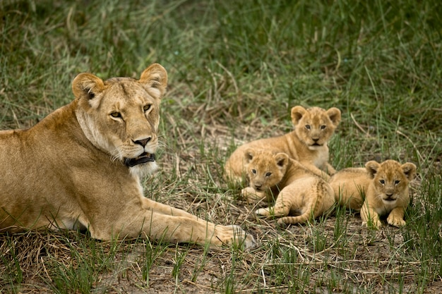Lionne couchée avec ses oursons dans l'herbe, regardant la caméra