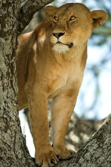 Lionne dans l'arbre