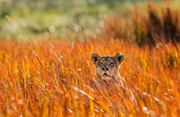 Lionne dans l'herbe