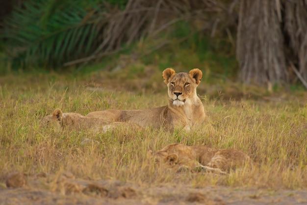 Lionne dans la savane