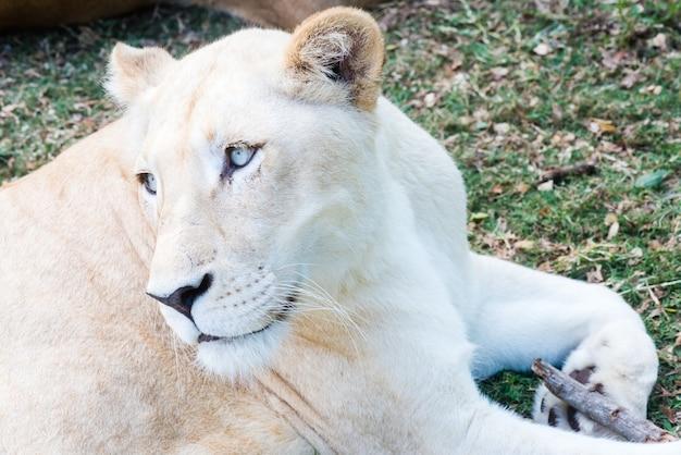 Lionne sur environnement naturel