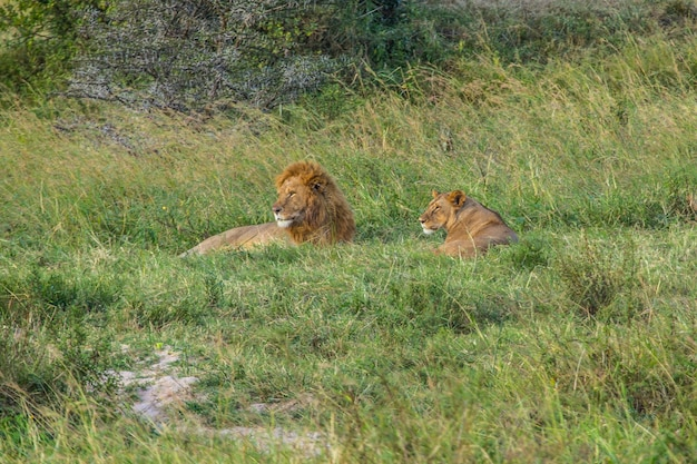 Une lionne et un lion dans le parc national du masai mara, des animaux sauvages dans la savane. kenya