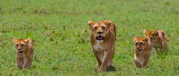 Lionne avec oursons dans la savane. parc national. kenya. tanzanie. masai mara. serengeti.