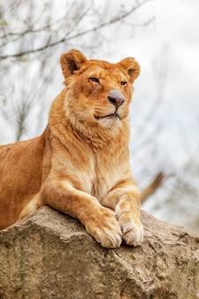 Lionne reposant sur un rocher