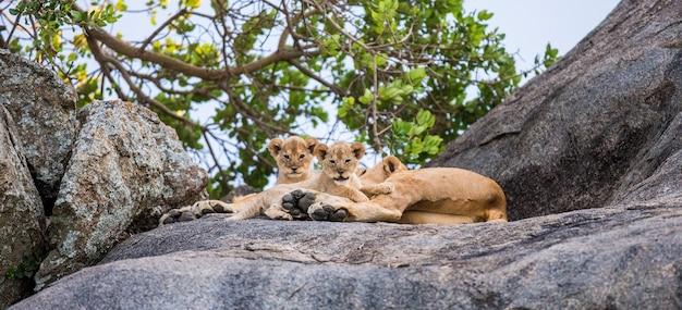 Lionne et ses petits sur un gros rocher.