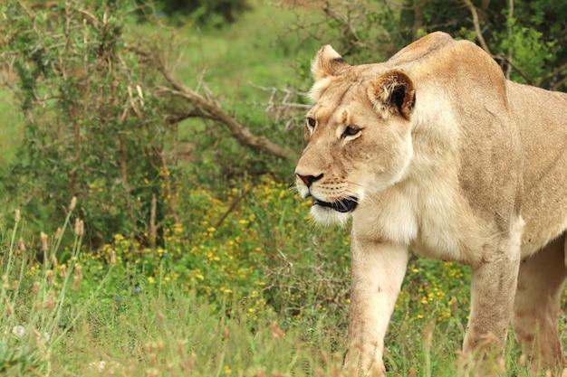 Lionne solitaire marchant dans le parc national des éléphants d'addo