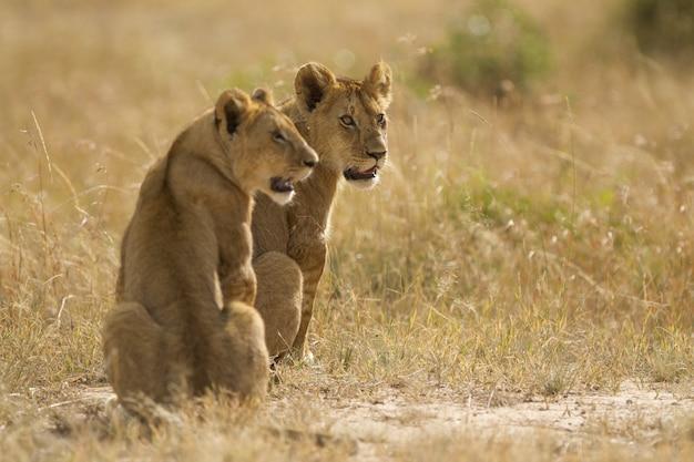 Lionnes assises sur un champ recouvert d'herbe au milieu de la jungle