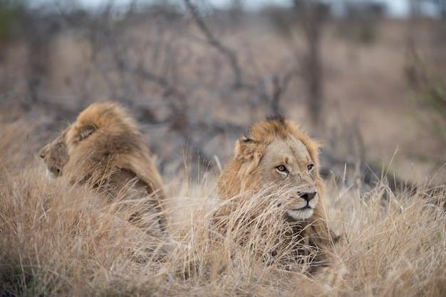 Les lions mâles reposant sur la brousse avec un arrière-plan flou