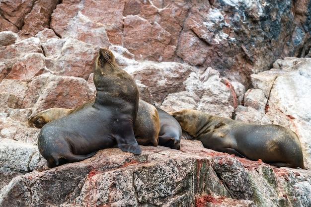 Lions de mer d'amérique du sud ou loups de mer reposant sur les pierres dans les îles ballestas du pérou