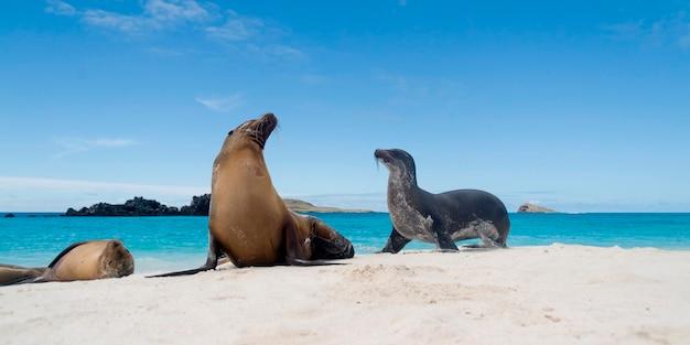 Lions de mer des galapagos (zalophus californianus wollebacki) sur la plage, baie gardner, île d'espanola, îles galapagos, équateur