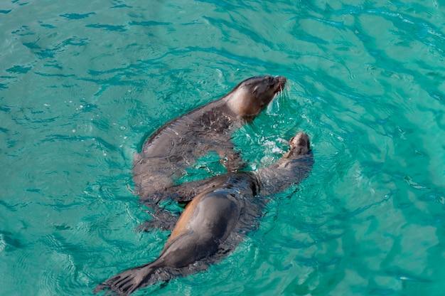 Lions de mer des galapagos (zalophus californianus wollebacki), puerto baquerizo moreno, île san cristobal, îles galapagos, équateur