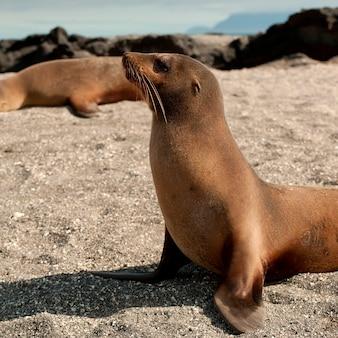 Lions de mer des galapagos (zalophus californianus wollebacki), punta espinoza, île fernandina, îles galapagos, équateur