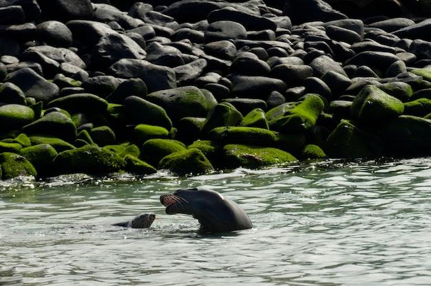 Lions de mer des galapagos (zalophus californianus wollebacki), punta suarez, île d'espanola, îles galapagos, équateur