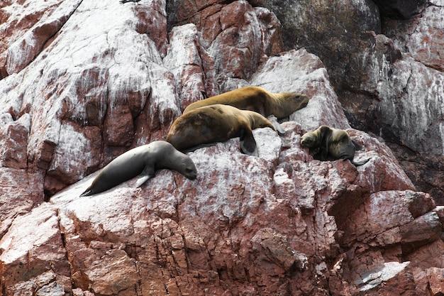 Les lions de mer se battant pour un rocher sur la côte péruvienne aux îles ballestas au pérou