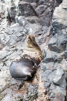 Les lions de mer se battent pour un rocher sur la côte péruvienne aux îles ballestas pérou