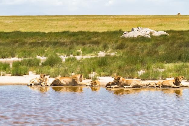 Lions paresseux du serengeti. près de l'eau et près de la proie. tanzanie, afrique