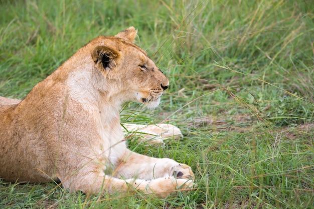 Les lions se reposent dans l'herbe de la savane