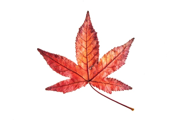Liquide d'automne rouge unique ou feuille d'érable isolé sur une surface blanche, un tracé de détourage