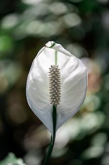 Lis de paix couleur blanche dans le jardin