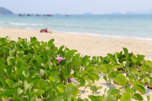 Liseron des champs sur la plage asiatique.