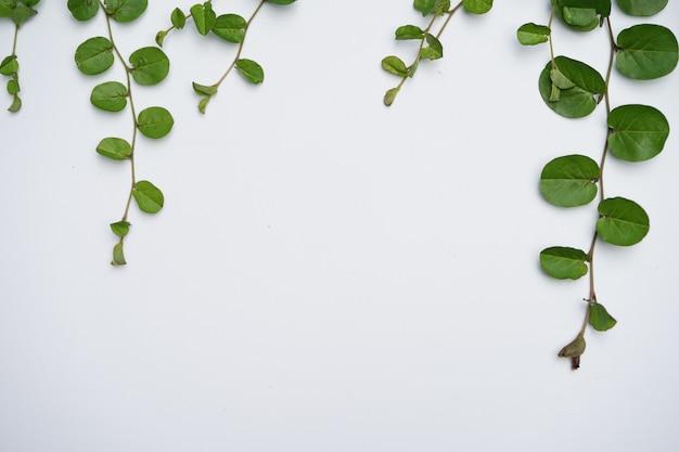 Liseron à feuilles rondes sur le fond noir blanc avec des feuilles