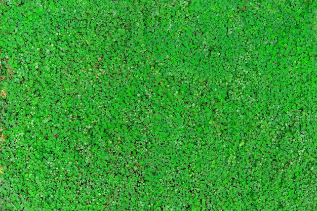 Le liseron à feuilles rondes vertes (bai tang rian) est une plante grimpante au sol, utilisée comme arrière-plan naturel.