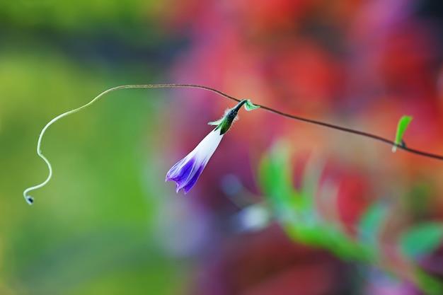 Liseron de fleur de violette