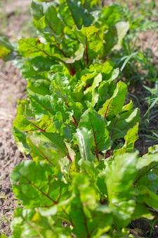 Un lit de betteraves. une plante saine et savoureuse pousse avec un tubercule bordeaux. agriculture et horticulture.