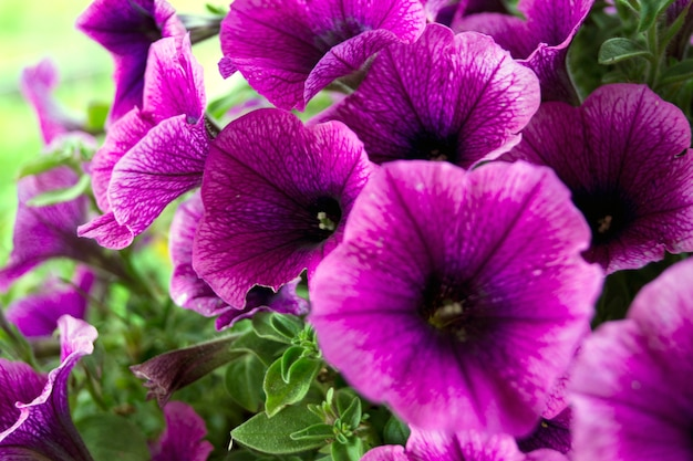 Un lit de pétunias violettes (petunia grandiflora).