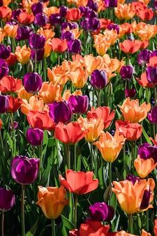 Un lit de tulipes colorées