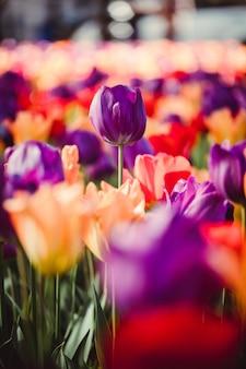 Lit de tulipes violettes et roses
