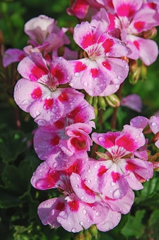 Literie fleurs roses de géranium dans les gouttes d'eau après la pluie