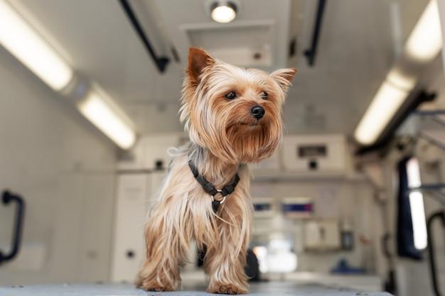 Little fun doggy yorkshire terrier posant sur table de manipulation à l'intérieur de la voiture d'ambulance pour animaux de compagnie