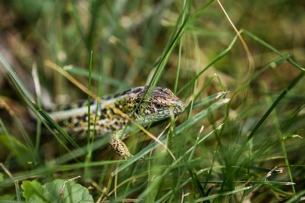 Lizardin l'habitat naturel pendant la saison des amours.