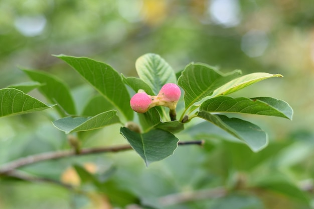 Lobner magnolia merrill fruits immatures